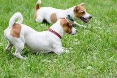 2 послушливых собаки лежа на траве командой обработчика Стоковое Фото