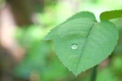 Потек воды на лист розы Стоковое Изображение