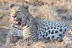 Потеряйте вверх по портрету мужского леопарда с открытым ртом показывая зубы и язык и сухую траву в предпосылке стоковое фото