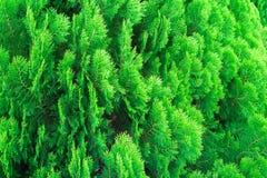 Потеряйте вверх по текстуре Arborvitae малых зеленых листьев китайского или Arborvitae Orientali Стоковые Фото