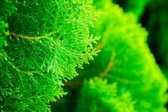 Потеряйте вверх по текстуре Arborvitae малых зеленых листьев китайского или Arborvitae Orientali Стоковая Фотография RF