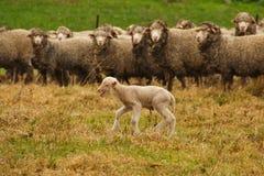 потерянная овечка Стоковое Изображение