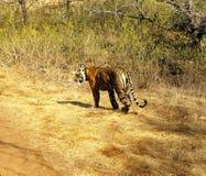 потерянный тигр Стоковые Изображения