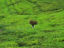 потерянный чай Стоковые Фото