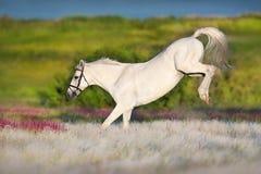 Потеха белой лошади стоковая фотография