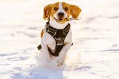 Потеха бигля бега собаки в снеге Стоковые Изображения RF