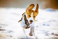 Потеха бигля бега собаки в снеге Стоковые Фото
