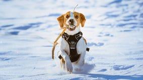 Потеха бигля бега собаки в снеге Стоковое Изображение