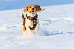 Потеха бигля бега собаки в снеге Стоковая Фотография RF