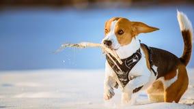 Потеха бигля бега собаки в снеге Стоковая Фотография