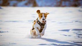 Потеха бигля бега собаки в снеге Стоковое Изображение RF