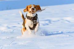 Потеха бигля бега собаки в снеге Стоковые Фотографии RF