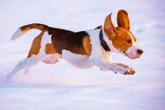 Потеха бигля бега собаки в снеге Стоковое Фото