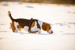 Потеха бигля прогулки собаки в снеге Стоковые Фотографии RF