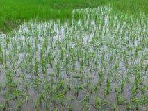 Потоки затопляли повреждение полей риса Стоковые Изображения RF