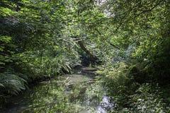 Поток леса в плотной зеленой вегетации Стоковая Фотография RF