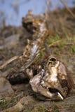 поток скелета края икры зубробизона Стоковое Фото