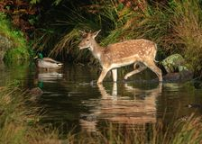 Поток скрещивания оленей косуль Стоковая Фотография RF
