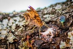 Поток шлама бабочки времени весны Техаса выпивая от дуба стоковое изображение rf