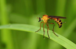 похититель разбойника мухы вися Стоковое Изображение RF
