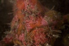 похожая на Изверг сторона frongfish подводных Стоковое Фото