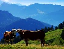 поцелуи коровы Стоковая Фотография