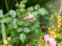 Поцелуй бутона Розы пинка Стоковое Изображение
