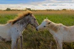Поцелуй лошадей Camargue Стоковые Изображения