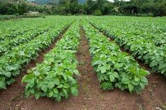 почва плантации фасоли Стоковое Изображение