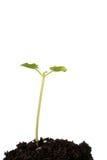почва сеянца фасоли Стоковое Фото