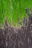 Почва с семенами и корнями  Стоковые Изображения