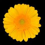 почерните желтый цвет gerbera цветка маргаритки изолированный головкой Стоковое Изображение RF