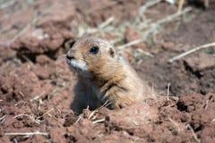 почерните замкнутую прерию marmot Стоковое фото RF