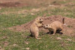 почерните замкнутую прерию marmot Стоковая Фотография
