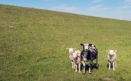 Почерните запятнанную овцу с ее 3 белыми овечками Стоковое Изображение