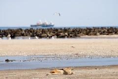 Почерните задний Jackal на пляже около колонии уплотнения Стоковое Изображение