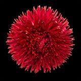 почерните красный цвет головки цветка маргаритки изолированный Стоковое фото RF