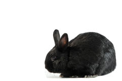 Почерните кролика изолированного на белой предпосылке Стоковая Фотография RF