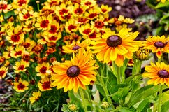 Почерните наблюданное Сьюзан также известное как Rudbeckia и веселые perennials Coreopsis стоковая фотография rf