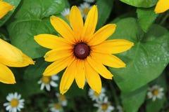 Почерните наблюданный цветок Сьюзана с листьями и маргаритками славы утра Стоковое Изображение