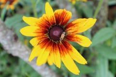 Почерните наблюданный цветок Сьюзана с малым желтым и черным inset летания на ем Стоковая Фотография RF