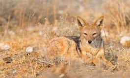 Почерните подпертые mesomelas в солнце утра, Kalaha волка jackal стоковое фото rf
