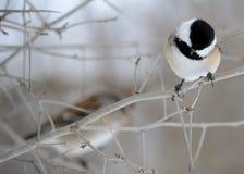 почерните покрынный chickadee Стоковые Изображения