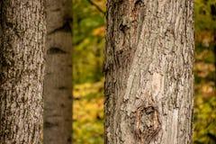 Почерните покрытый chickadee вползая на дереве в Northwoods Wiscons стоковое изображение