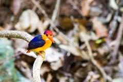 Почерните подпертый Kingfisher в парке пришл для воды стоковые изображения