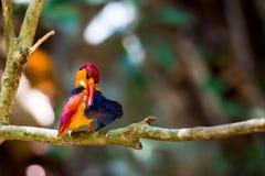 Почерните подпертый Kingfisher в парке пришл для воды стоковое изображение