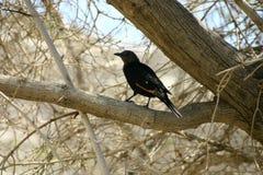 Почерните птицу Стоковые Фотографии RF