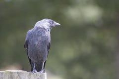 Почерните птицу Стоковое Изображение RF