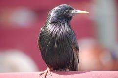 Почерните птицу Стоковое Фото