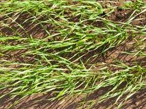 почерните пускать ростии зеленого цвета травы земли стоковые фотографии rf